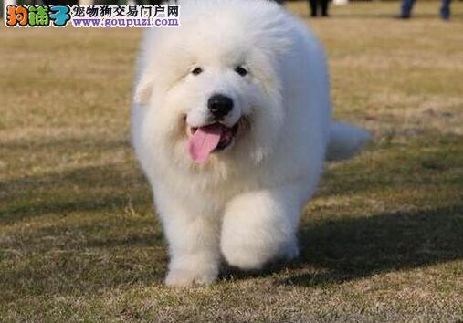 宜昌出售纯正活泼可爱大白熊幼犬质量健康保证疫苗做齐