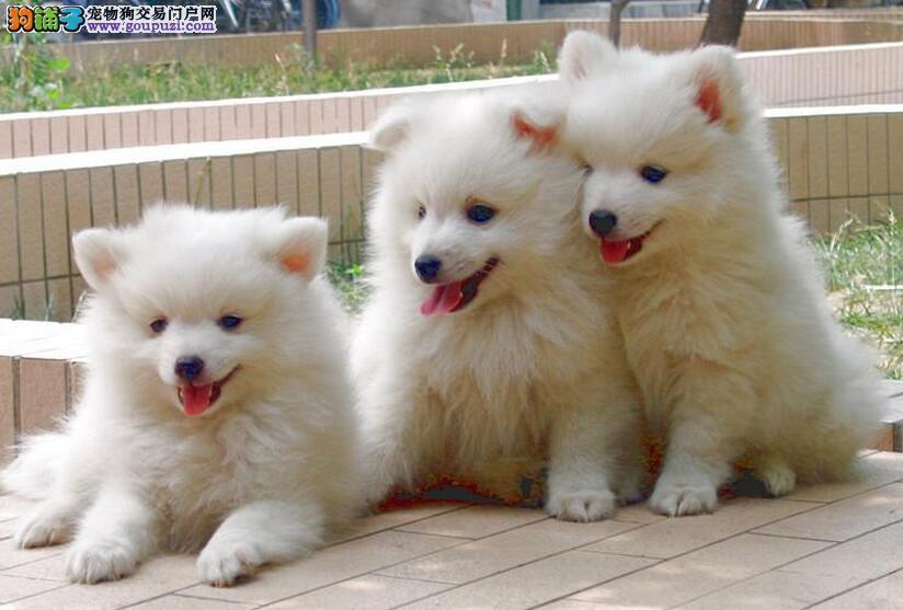 珠海哪里有卖银狐犬 珠海银狐犬什么价格