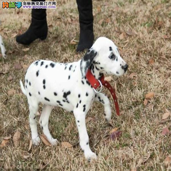 出售赛级斑点狗、注射芯片颁发证书、提供养狗指导