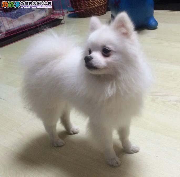 纯种银狐犬 成年健康聪明日本精品银狐犬