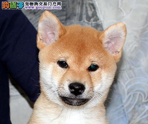 正规 狗场出售精品 柴犬 可签协议