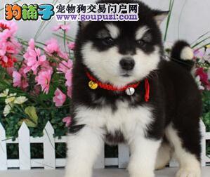 成都超纯种阿拉斯加雪橇犬极地品质多色挑选质量保证