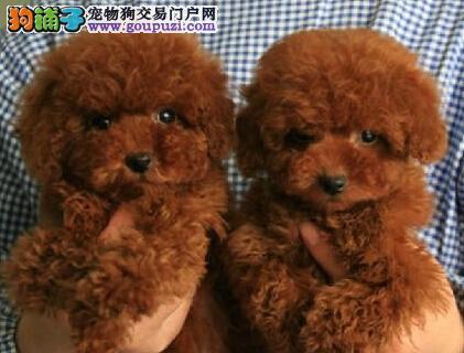 家养多只茶杯体南宁泰迪犬转让售后可签订活体