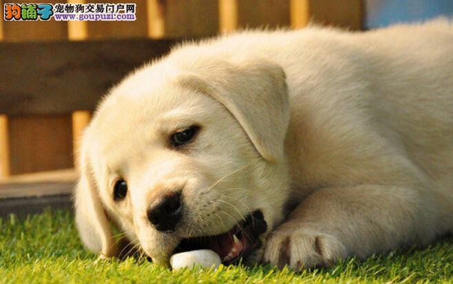 拉布拉多幼犬热销中、国际血统品相好、购犬可签协议4