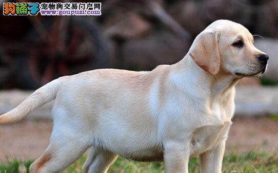 拉布拉多幼犬热销中、国际血统品相好、购犬可签协议3