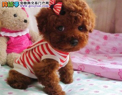 大足县上门犬业出售贵宾犬/当天全款包邮·送货上门