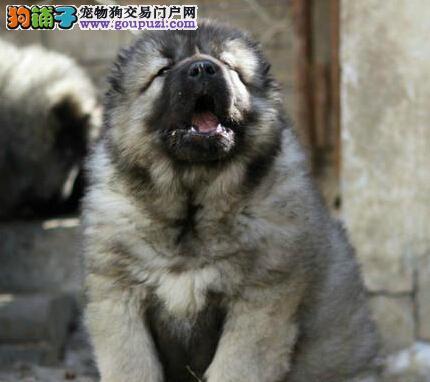 高大威猛的昆明高加索犬找新家 可训练成看家护院犬