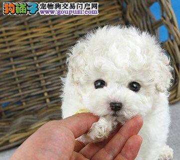热销多只优秀的纯种北京贵宾犬可签合同刷卡