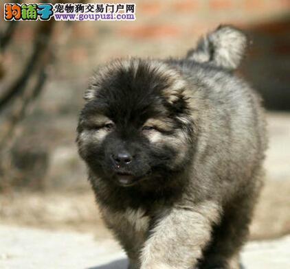 出售纯种健康的通辽高加索幼犬专业品质一流