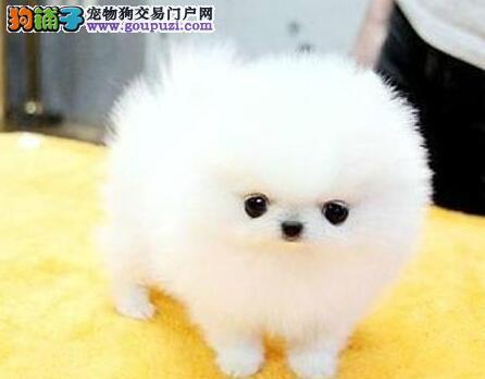 重庆纯种健康博美犬多只可选价格优惠 本市送狗上门