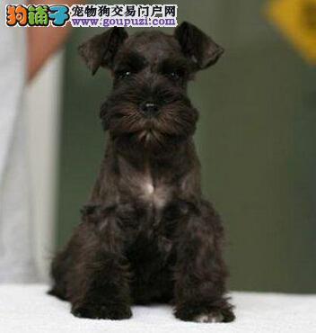 长胡子老头青岛雪纳瑞低价出售 爱狗人士优先选购3