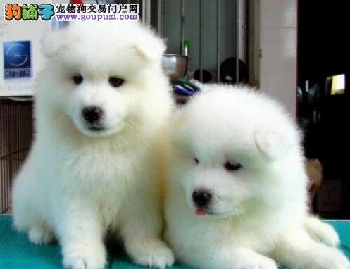 北京出售萨摩耶幼犬 可视频看狗全国发货三个月包退换