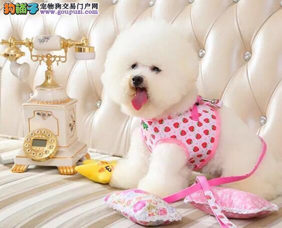 苏州实体狗场出售棉花糖品相的比熊犬 卷毛雪白无杂毛