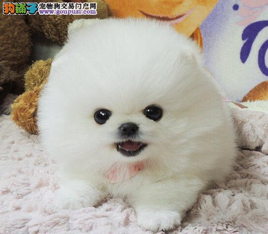 特价来袭 上海博美犬签协议免费送货三针做好证件齐全