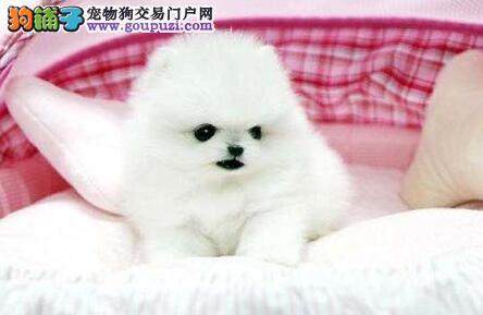多种血系的南京博美犬找新家 建议大家上门选择看种犬