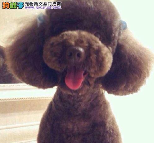 南京狗场出售茶杯血系的贵宾犬 全方位完美售后服务