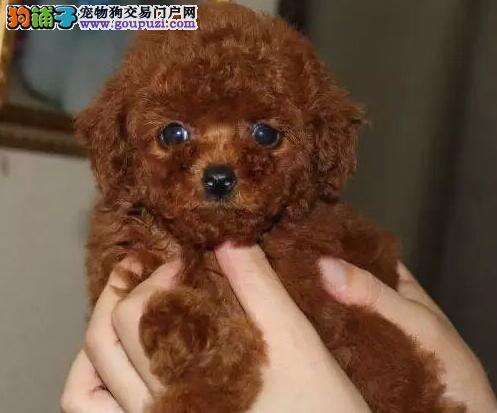 脸型甜美大眼睛的杭州泰迪犬找爸爸妈妈 可视频看实物