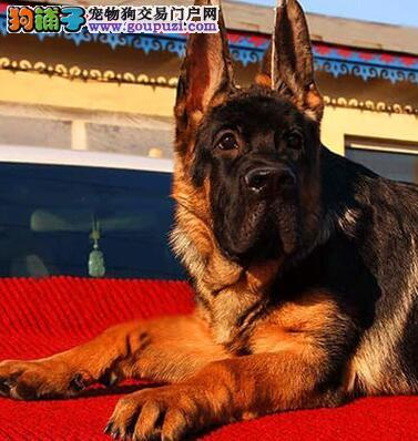 杭州正规狗场出售锤系德国牧羊犬 超高品质英俊帅气