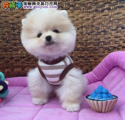 广东深圳博美幼犬健康保三年 签订质保协议