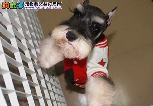 高品质椒盐灰黑雪纳瑞幼犬低价出售 杭州市内可送货4