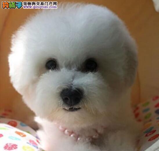 双赛级血统的杭州比熊犬特价优惠出售中 签订购犬协议