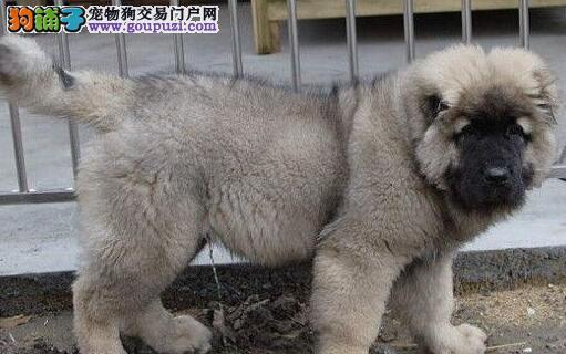 专业高加索繁殖基地出售赛级高加索犬纯种血统品相极佳