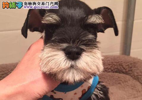 高品质椒盐灰黑雪纳瑞幼犬低价出售 杭州市内可送货2