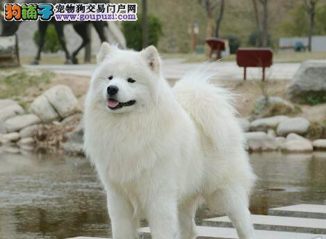 信誉犬舍直销价格出售微笑天使南昌萨摩耶 可享优惠
