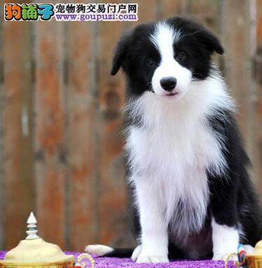 杭州犬舍出售七白三通高智商的边境牧羊犬 保活可刷卡