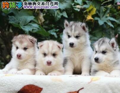 福州狗场基地直销哈士奇 纯种西伯利亚雪橇犬可送上门