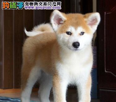 北京聪明忠诚的纯秋田犬幼犬疫苗齐全 血统健康有保障
