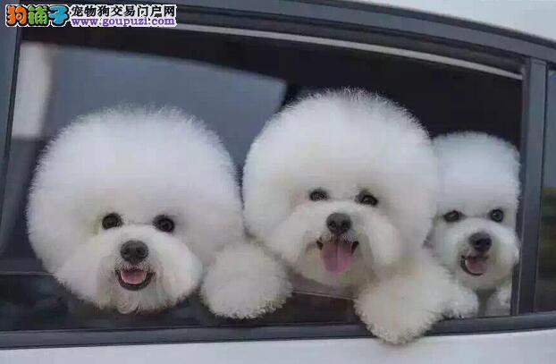 棉花糖版十分可爱的杭州比熊犬找爸爸妈妈 请放心选购