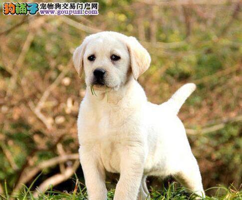 肇庆专业繁殖纯种拉布拉多导盲犬温顺听话纯种健康保证