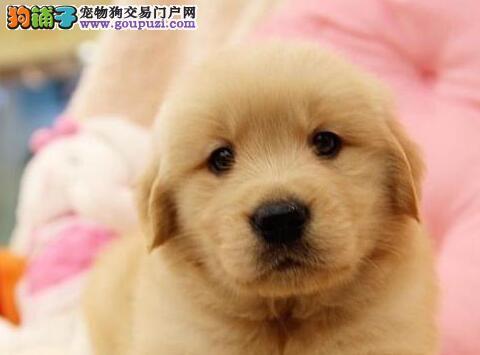 杭州正规养殖基地直销黄金色的金毛犬 保障品质和售后