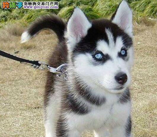自家繁殖的杭州哈士奇幼犬低价出售 建议大家上门选购