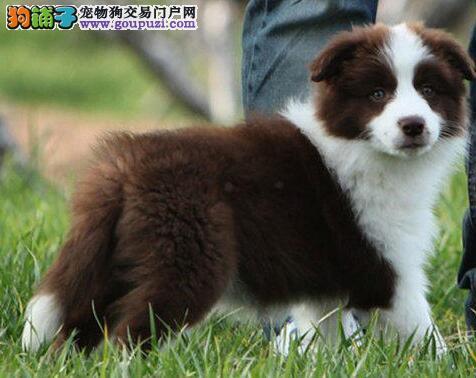转让七白到位通脖通缝的杭州边境牧羊犬 签订合法协议