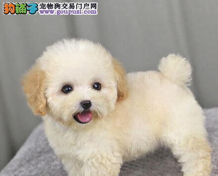 热销纯种韩系泰迪犬 福州周边可免邮费可办理血统证书
