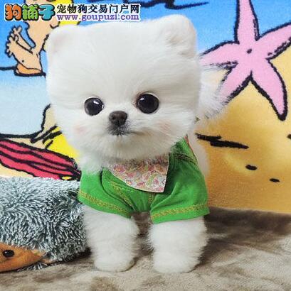 俊介哈多利血系的广州博美犬找新主人 保品质身体健康