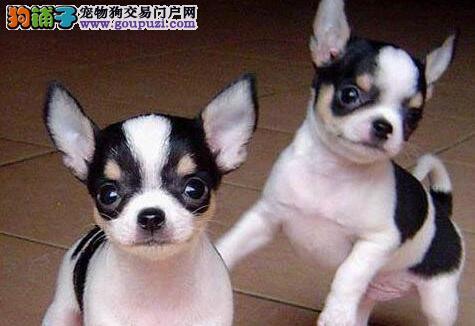实体店低价促销赛级吉娃娃幼犬期待您的咨询