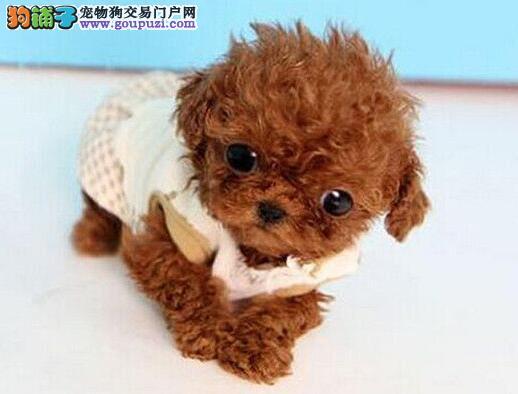 重庆哪里哪里有卖贵宾幼犬 重庆贵宾价格多少 多只选