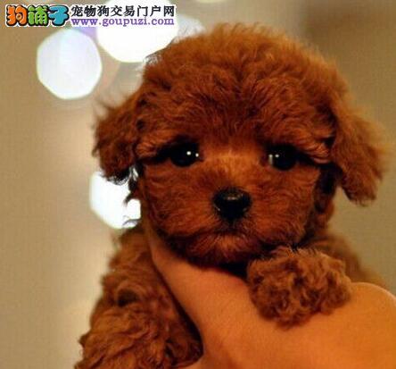 转让韩系小体沈阳泰迪犬 定时驱虫公母全都有保证健康2