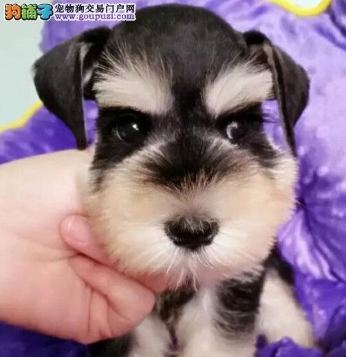 长胡子老头青岛雪纳瑞低价出售 爱狗人士优先选购1