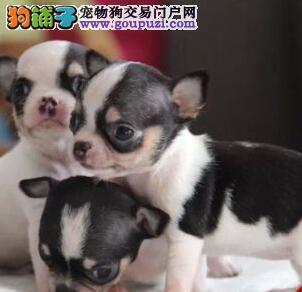 周口纯种吉娃娃犬出售苹果头杏仁眼掌中宝疫苗驱虫做好2