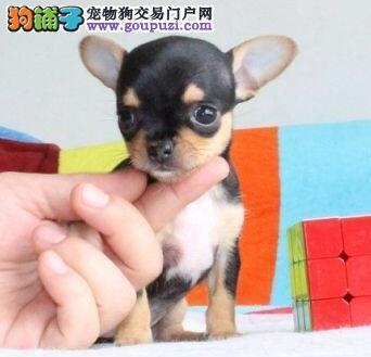 周口纯种吉娃娃犬出售苹果头杏仁眼掌中宝疫苗驱虫做好4