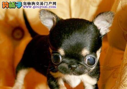 纯种墨西哥袖珍吉娃娃 黑鼻头犬业多只挑选