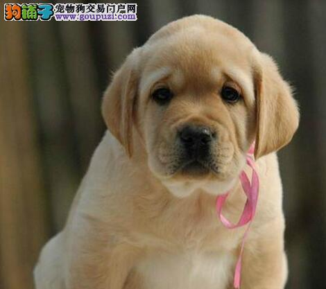 家养多只安康拉布拉多宝宝出售中微信咨询看狗