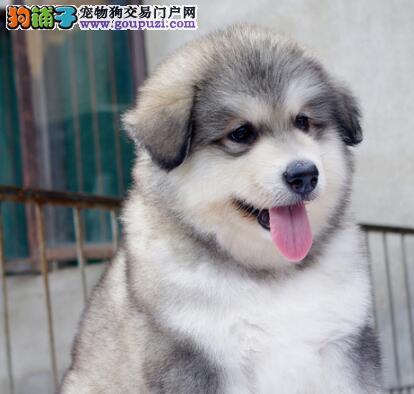 巨型熊版阿拉斯加犬高品质赛级血统 武汉狗场欢迎选购3