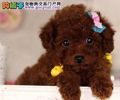 西安正规犬舍出售韩系贵宾犬 国外引进优秀犬种品质高