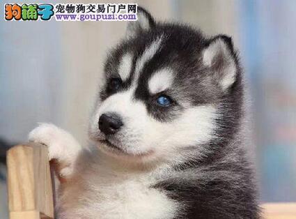 沈阳正规养殖基地出售双血统的哈士奇幼犬 狗贩子勿扰