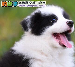 哪里有卖温顺聪明易训练的南京边境牧羊犬 随时电话咨询